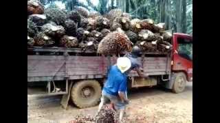 getlinkyoutube.com-loading buah sawit