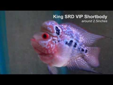 King SRD VIP Shortbody around 2.5inches