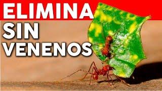 Como eliminar las hormigas del huerto - Novedosa receta casera organica y efectiva @cosasdeljardin