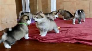 getlinkyoutube.com-Alaskan malamute puppies