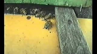 getlinkyoutube.com-Pčela protiv varoe