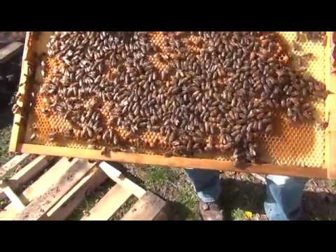Beekeeping : How To Split A Bee Hive Part 2