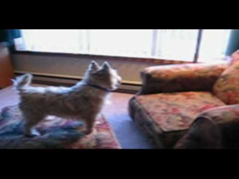 Gus The Cairn Terrier - A Life