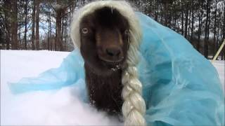 getlinkyoutube.com-Goat dressed up as Elsa !