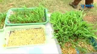 getlinkyoutube.com-Fodder Cultivation in trey with the help of Shade Net - Paadi Pantalu