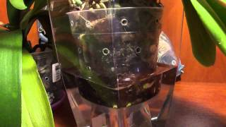 getlinkyoutube.com-Как и когда поливать орхидею. Поливаем правильно! Pour orchid correctly