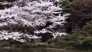 getlinkyoutube.com-皇居・東御苑の二の丸庭園の桜 外国人親子が楽しんでいる 2015.4.2