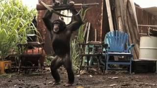 : Un singe avec un AK47
