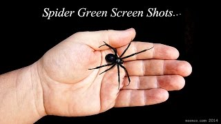 getlinkyoutube.com-Black Widow Spider Green Screen Footage For Your Productions