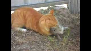 getlinkyoutube.com-cat kills rabbit