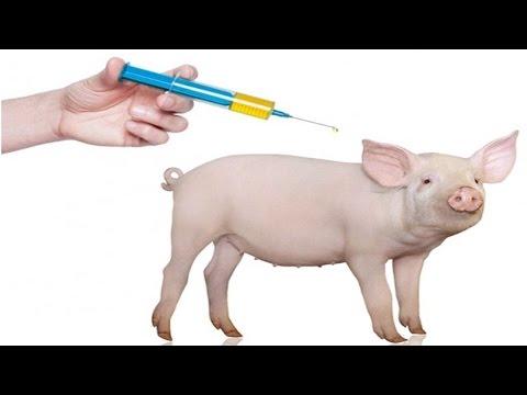Manejo de Leitões do Nascimento ao Abate - Vacinas - Cursos CPT