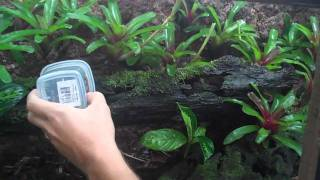 getlinkyoutube.com-Dart frogs of the Pacific