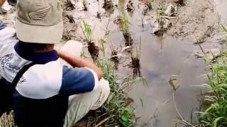 getlinkyoutube.com-MANCING BELUT, SANG PEMBURU BELUT SAWAH