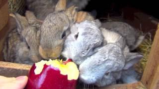 Cute flemish giant rabbits eating apple. Amazing baby bunnies
