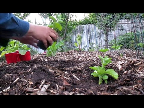 What's The Best Time to Transplant Seedlings Into The Garden? & Planting Out Ashwagandha