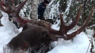 getlinkyoutube.com-Охота на лося. С лайкой