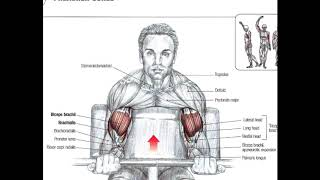 getlinkyoutube.com-Bodybuilding Anatomy ARMS