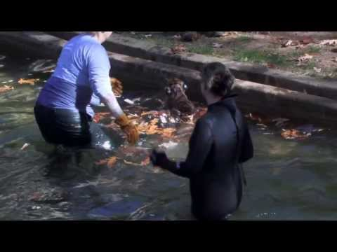 Sumatran Tiger Cub Swim Test