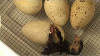 getlinkyoutube.com-Turkey Hatching