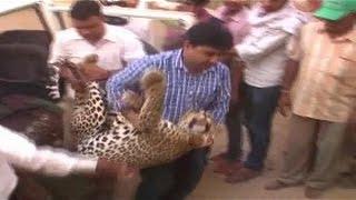 Rajasthan Me Tendue Ka Aatank - Live Rescue Video