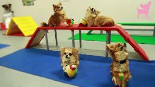 getlinkyoutube.com-Cute Chihuahua Dog Tricks and Agility