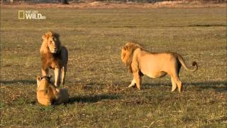 getlinkyoutube.com-NATIONAL GEOGRAPHIC WILD HD - Lions attack!