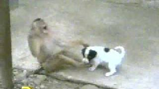 getlinkyoutube.com-Monkey Laughing at Dog, after checking his P****