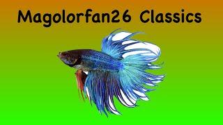 getlinkyoutube.com-Betta Fish Tail Types