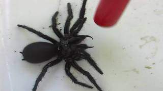getlinkyoutube.com-Female Funnel Web Spider.mov