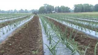 getlinkyoutube.com-How to Cultivate Onions