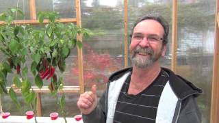 getlinkyoutube.com-NFT tomatoes getting the roots out of the tube, and a quick look at the salmon spawning!