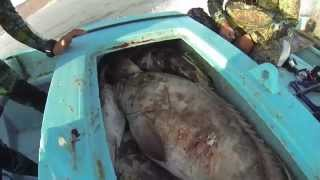 getlinkyoutube.com-Spearfishing Hunting Big Groupers in the shallows.