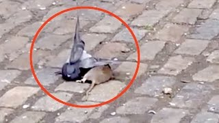 getlinkyoutube.com-Rat ATTACKS a Pigeon In Brooklyn | What's Trending Now