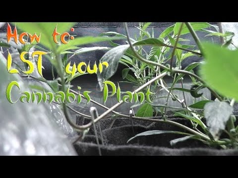 How to: LST Your Cannabis Plant s2 (+Update)
