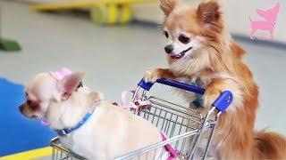 getlinkyoutube.com-Cute Chihuahua Dog Tricks