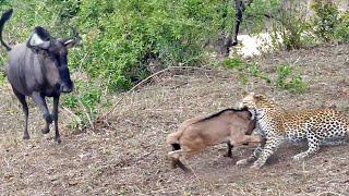 getlinkyoutube.com-Battle Between Leopard & Wildebeest Mother over Calf | Graphic