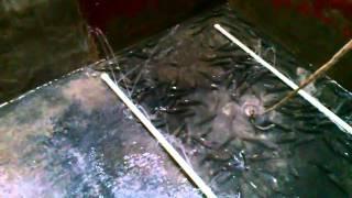 getlinkyoutube.com-Criadero o crianza de Tilapia o Mojarra en un estanque casero, Parte 1