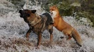 getlinkyoutube.com-Fox vs Dog.  Fox beat dog