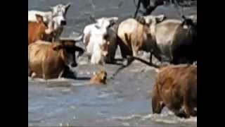 getlinkyoutube.com-Wilfong Bucking Bulls Swimming Rodeo Cattle