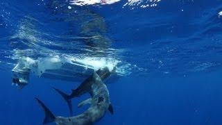 getlinkyoutube.com-Massive shark attacks marlin