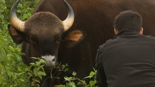 getlinkyoutube.com-Worlds Biggest Wild Cows - Dangerous Gaur of India