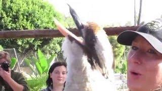getlinkyoutube.com-Distraction: Laughing kookaburra