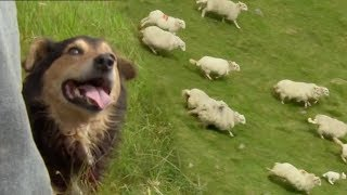 The Amazing Rituals of the Welsh Shepherd Dogs   BBC Earth width=