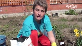Как сажать лилии весной