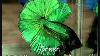 getlinkyoutube.com-Betta Fish