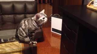 getlinkyoutube.com-おやつの入った引出しを開けようと奮闘する猫。意外な結末が・・・(アメショーてんトイ)