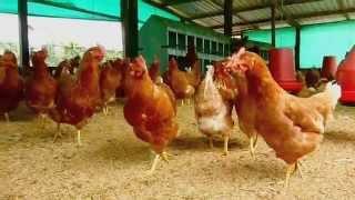 getlinkyoutube.com-Proyecto Gallinas felices, ecológicas y sanas - Bienestar avícola - Fundases