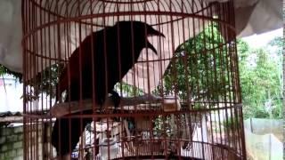getlinkyoutube.com-Bìm bịp mèo kêu   Centropus sinensis