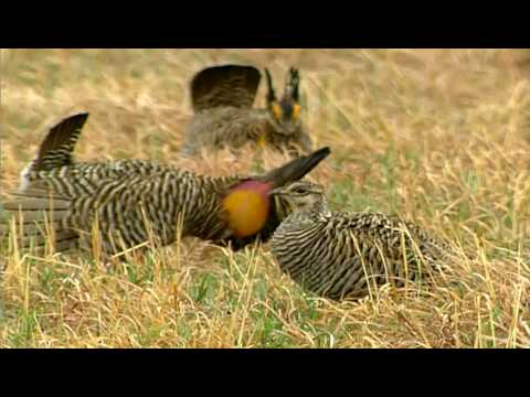 Prairie Chicken Dance -H7QBAqjyi5k