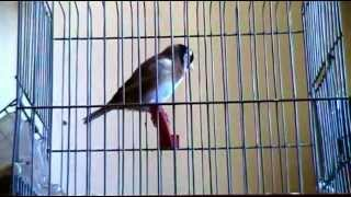 getlinkyoutube.com-la plus longue VIDEO chardonneret sur youtube καρδερίνα Carduelis marocain 11 mois 2012
